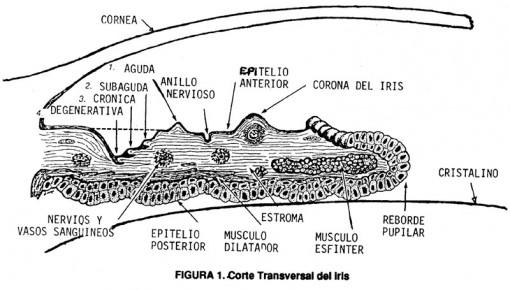 figura-1-iridologia-corte-transversal